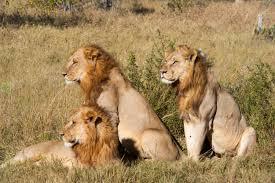lions at Meru National Park