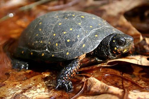 turtle spotted.jpg