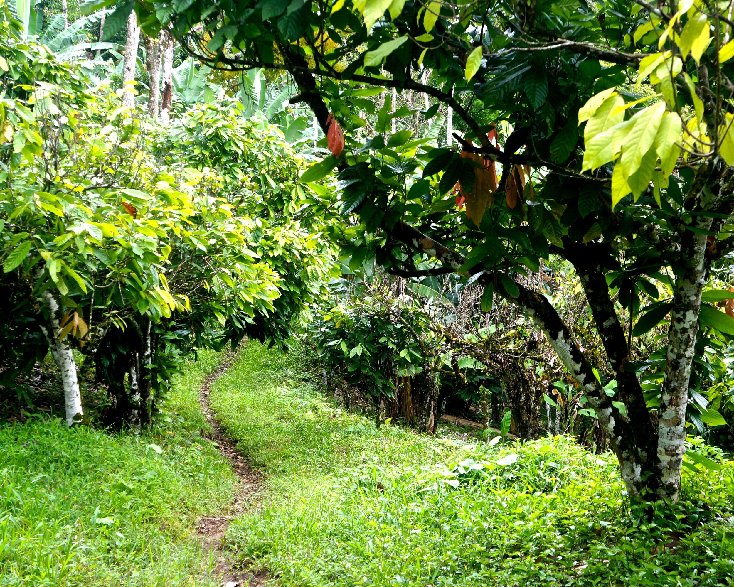 building the road to cacao starts here - enliven cacao (2).jpg