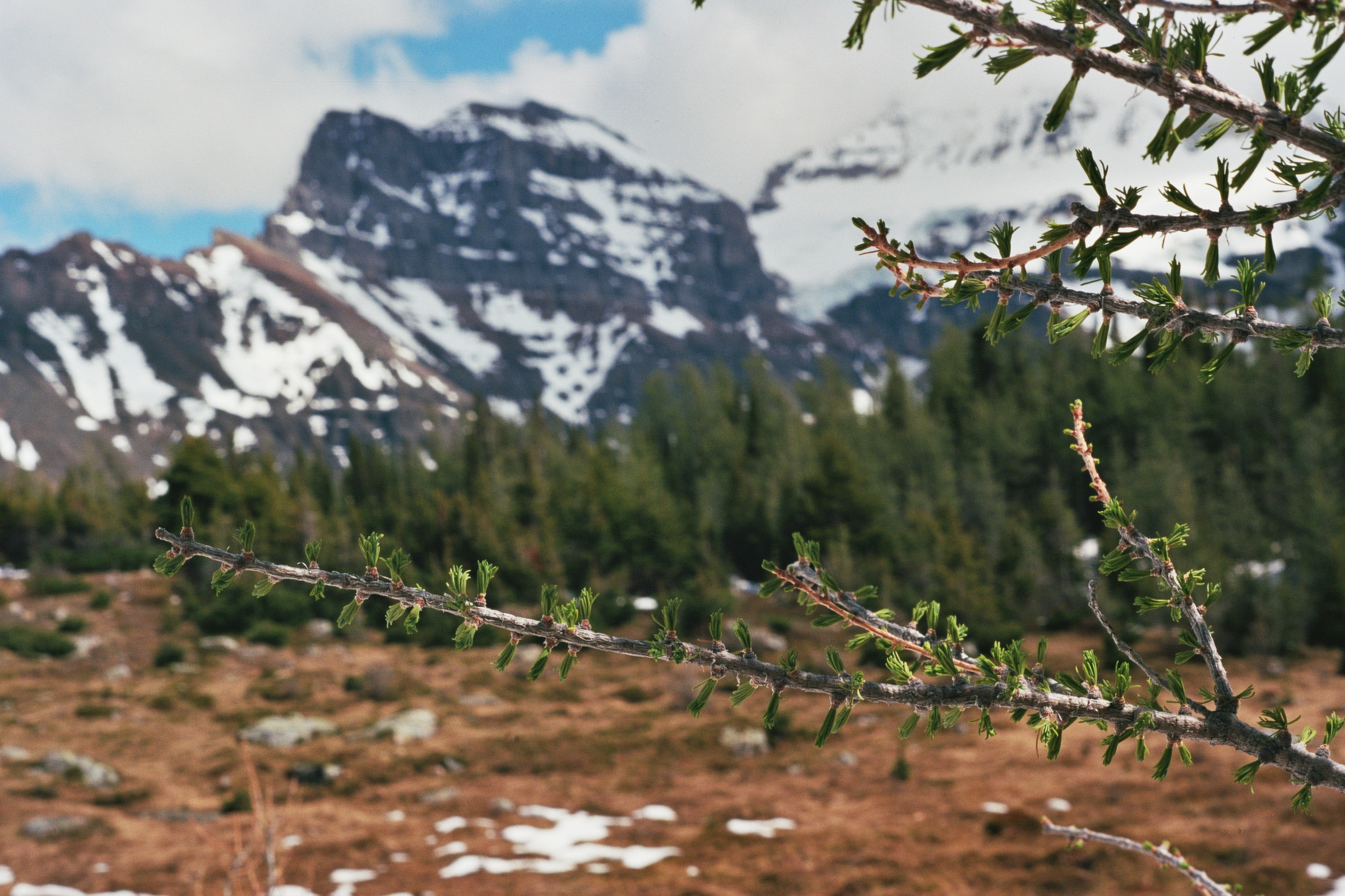 Larch with mountain backdrop.jpg