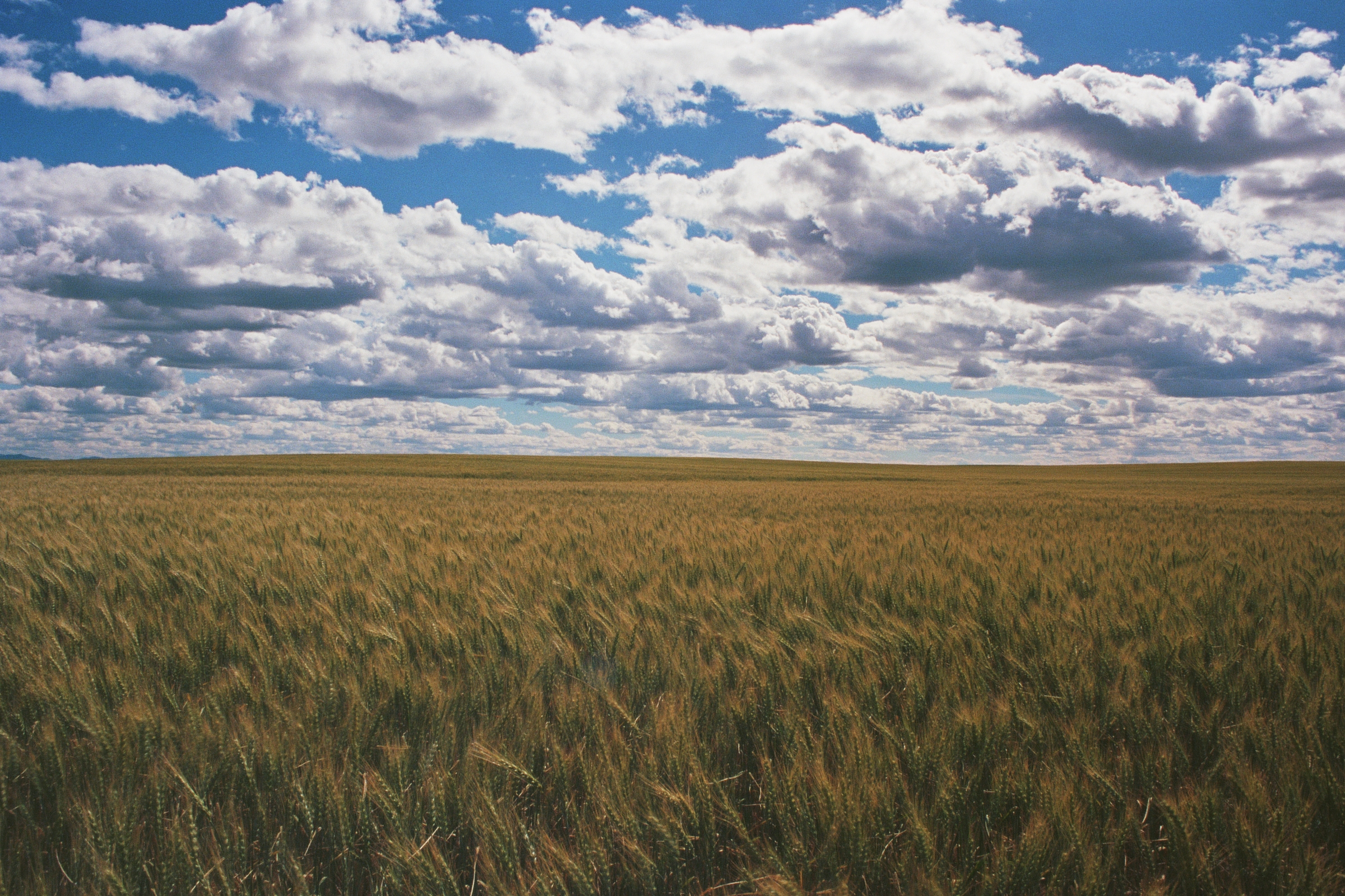 Wheat and clouds.jpg
