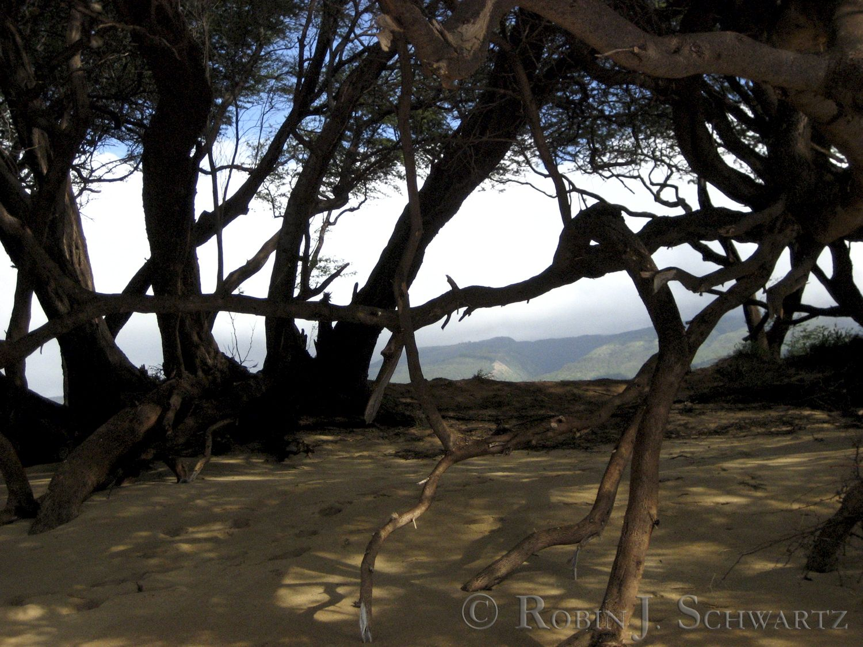 Maui Mangroves1, 1500px irf, wmark.jpg