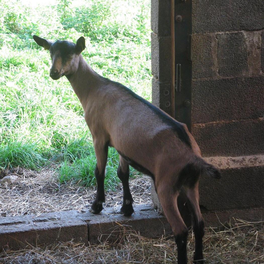 perigord-farm-tours-goat.jpg