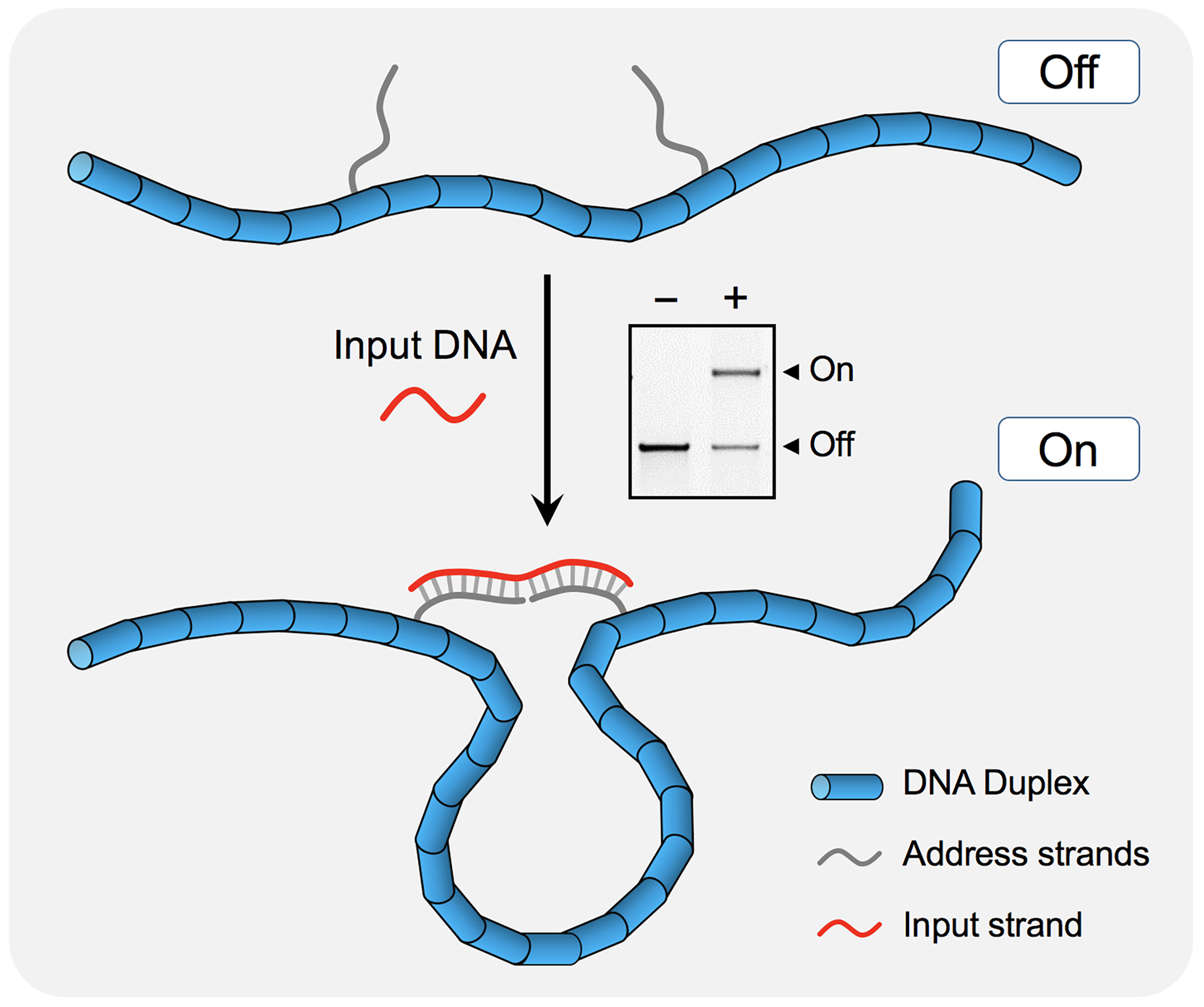 The nanoswitch is a long linear duplex with single-straned extensions acting as  address  strands. On binding a complementary  input  strand, the nanoswitch changes conformation to a looped state. The  on  and  off  states are easily identifiable on an agarose gel providing a binary readout.