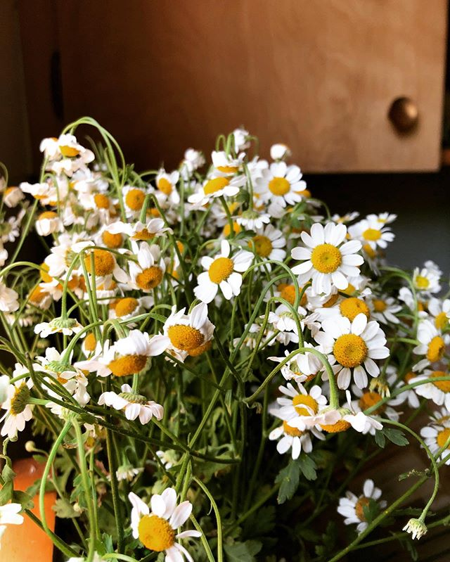 A shaman told me to put more plants in my kitchen (among other things) to cleanse the stagnant energy in my new house. So I did. And I love the way these little chamomile flowers smile at me 🌼