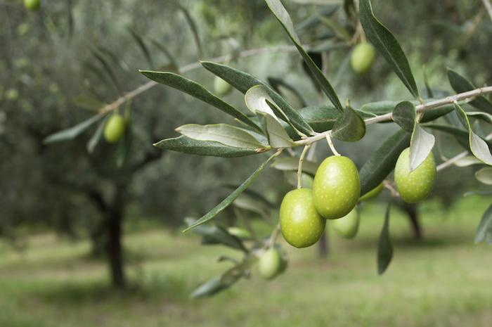 Olives & Olive Oils