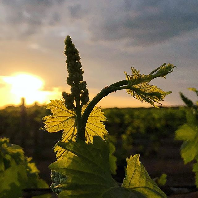 Isn't it amazing that from a little bud to this stem, will eventually grow a beautiful bunch of grapes?  #sunset #vines #sultanas #vineyard #freshair #sun #livingthecountrylife #spring #visitmildura #grapes #viticulture #malleedriedfruits #sultanasisters #iphonephotography