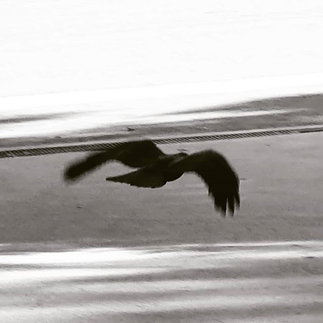 Sometimes a memory flies by my eyes and, in a flash, my identity is marked with judgements of my past; each flap of wings is a trap of rings: regret - flap - remorse - flap - guilt - flap - nostalgia - flap - bittersweet - flap - love... And it glides gently to perch on another branch. . . . #igersbnw #photoday #bandw #photographer #picofday #bnw_captures #art #bwbeauty #instaphoto #bnw_life #bnw_society #monochrome #tagsta_bw #monochromatic #instapic #picoftheday #photogram #snapshot #bwoftheday #nero #monoart #beautiful #beauty #bwstyles #bwstyleoftheday #photograph #photography #photo #blackandwhitephotography