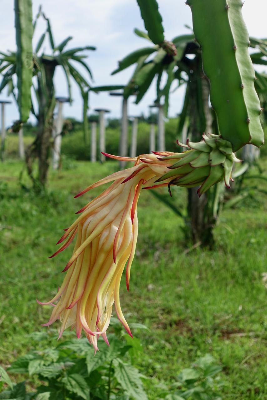 farm tour dragon fruit l.jpg
