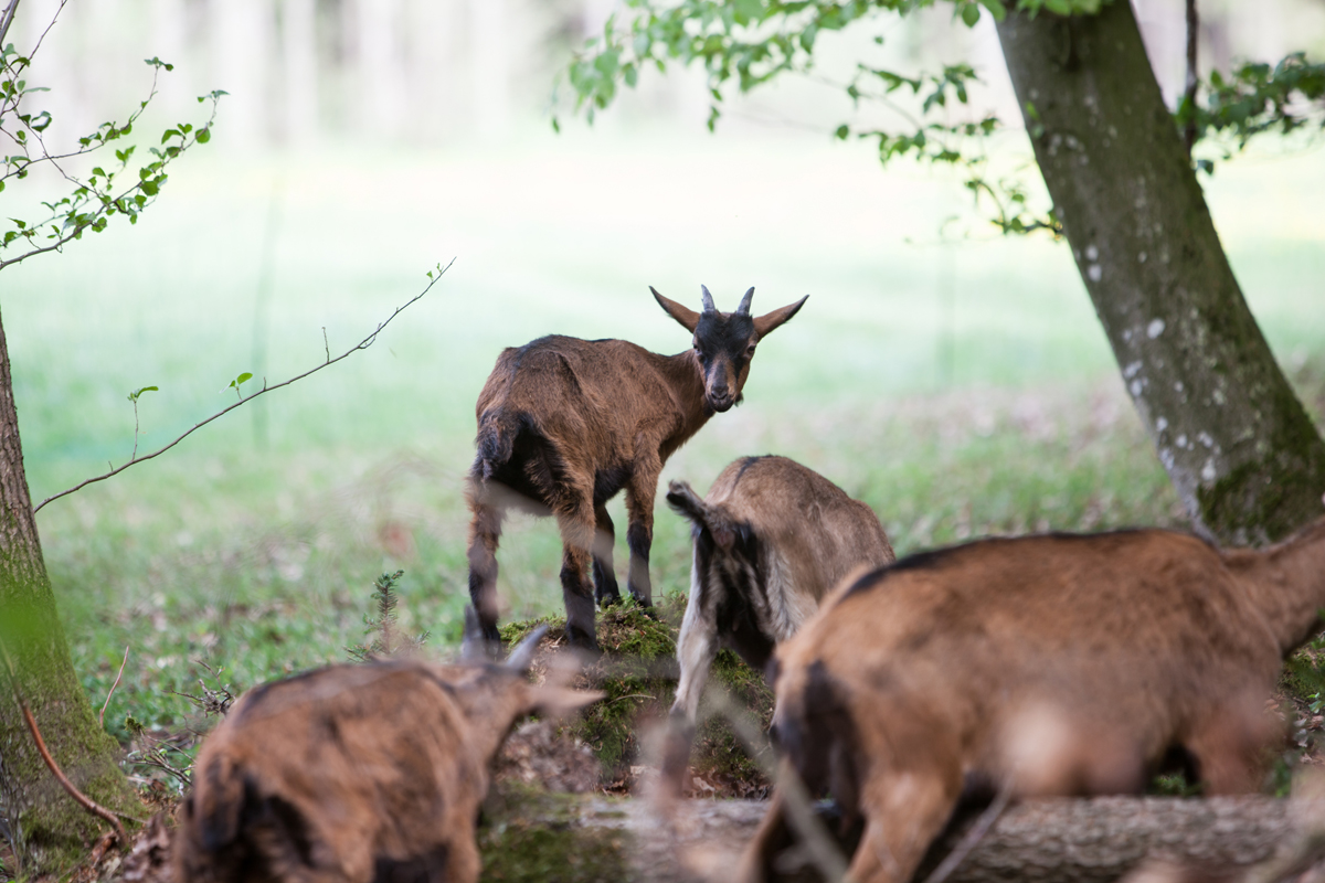 A small herd of goats graze with the dancers. © Magdalena Lepka