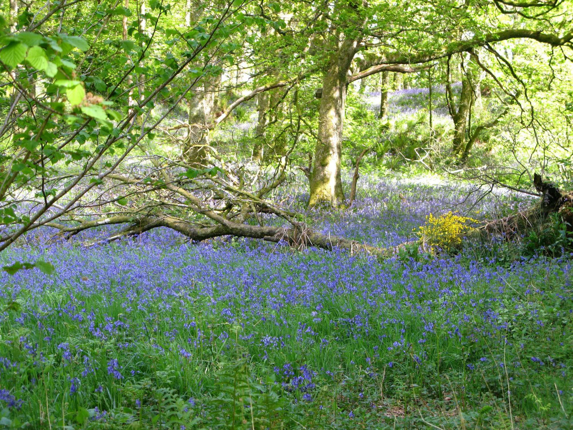Bluebell time: May
