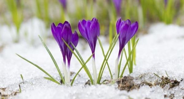 Violet_crocuses_-_Stock_Image.jpg