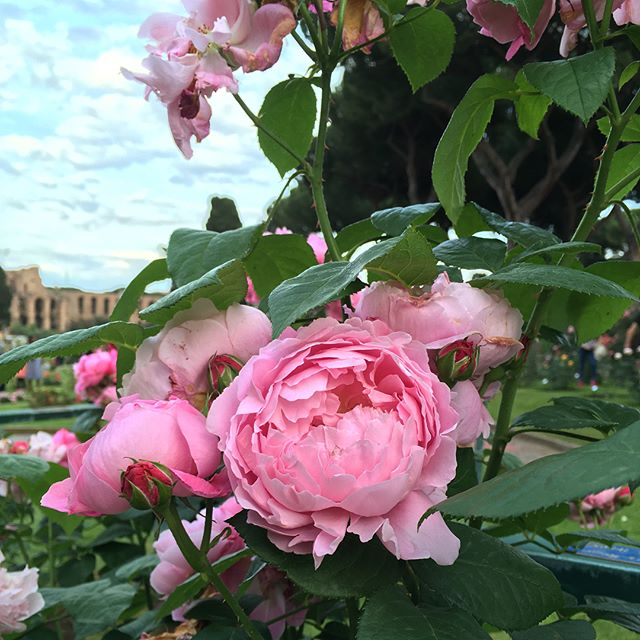 In every direction, each bloom is pretty than the last  #rosetocomunale