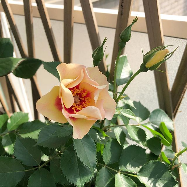 Just in time for summer, the first bloom of the season!  #Roses #flowers #prettythings #homegrown