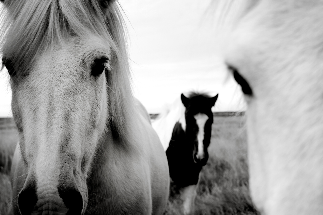 horses lceland.jpg