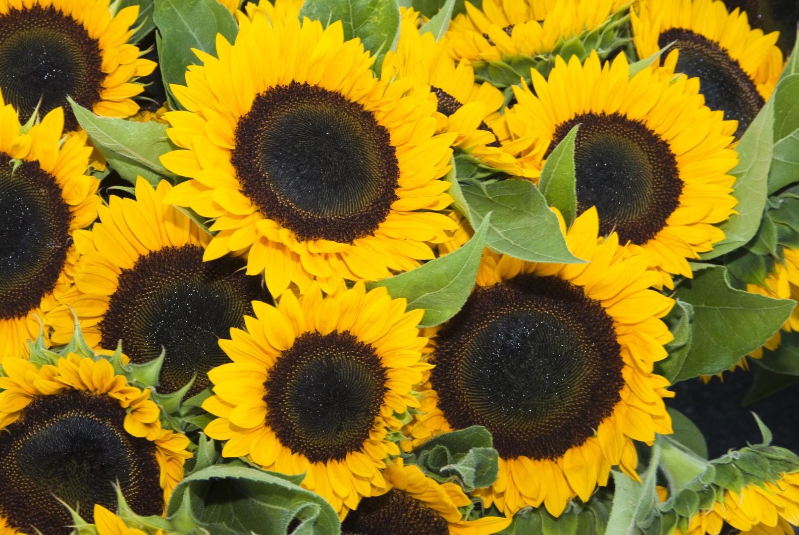 sunflower (Large).jpg