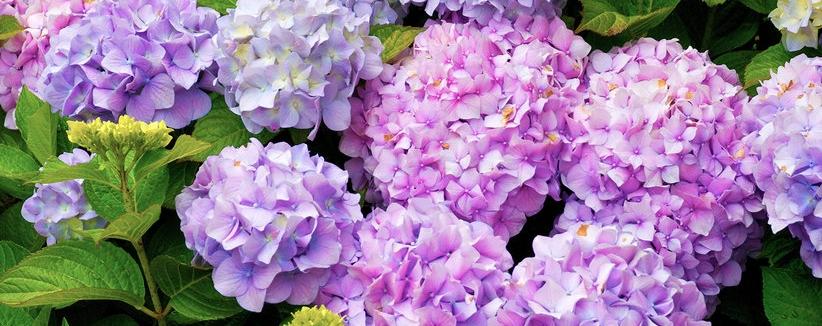 hydrangea-bush.jpg