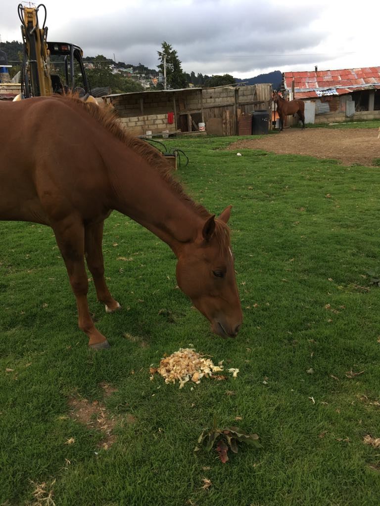 Pancho's horse loves the mechal - the scrapings of the agave heart.