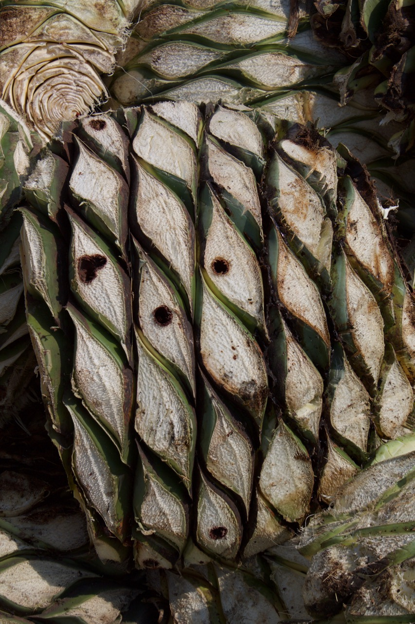 Holes from the agave worm. Guerrero.