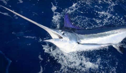 sword fish.jpg