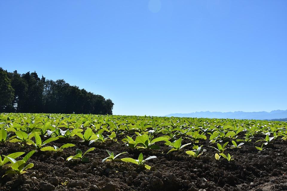 tobacco field.jpg