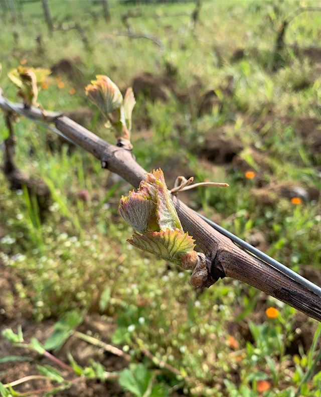 🌱 #domainefelettig #chambollemusigny #vine #vines #wine #winelover #winetasting #winelovers #nature #naturephotography #naturelovers #winestagram #welovewine #burgundy