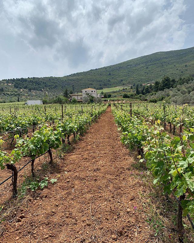 Découverte du vignoble Grec☀️#domainefelettig #peloponnese #grece #greece #vine #vines #vineyard #argyros #argyrosestate #santowines #santorini #sigalas #sigalaswinery #welovewine #winelover #wine