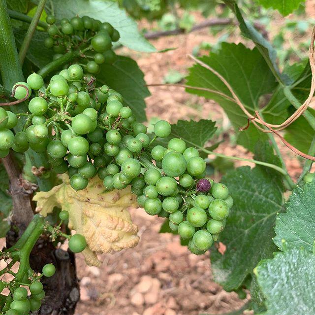 Première baie verée avec vue sur le Mont Blanc 🌱🍇🌄 #véraison #domainefelettig #felettig #chambollemusigny #chambollemusigny1ercru #lescarrières #lesfeusselottes #montblanc #vines #vineyard #vineyards🍇 #wine #winelover #winelovers #winetastings #burgundy #nature #montagne