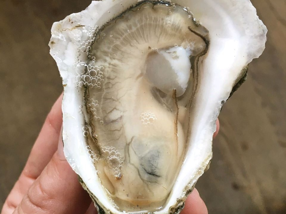beach point oysters - Barnstable, MA, CCB31MA