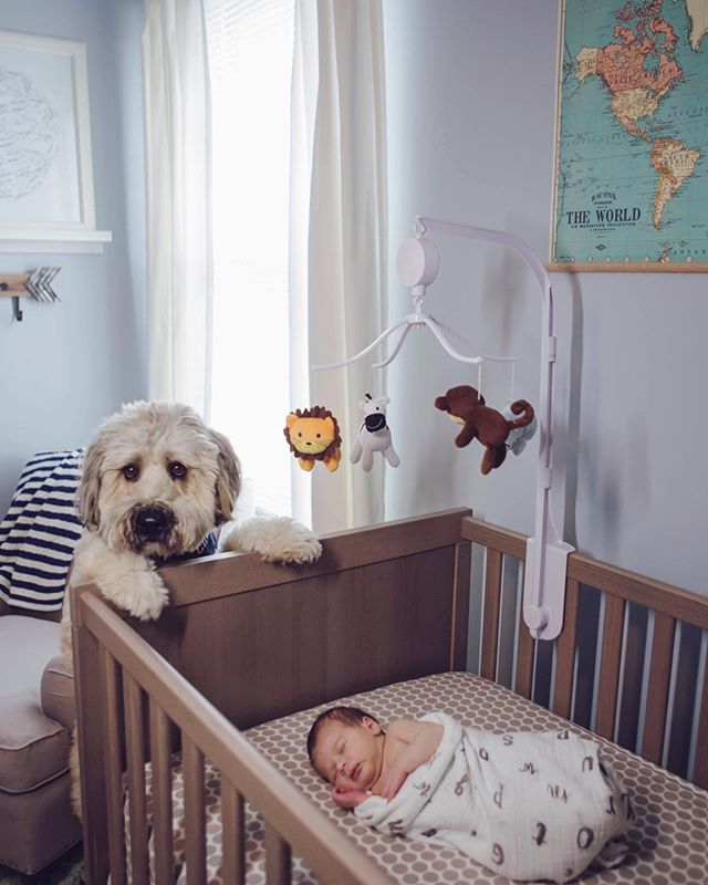 Curious big brother checking out the new family member. . . . .  #njfamilyphotographer #kristinodonnellphotography #familyphotography #njnewbornphotography #newbornphotographer #clickinmoms #photographer #njlifestylephotographer #wheatenterrier #brothers #mansbestfriend
