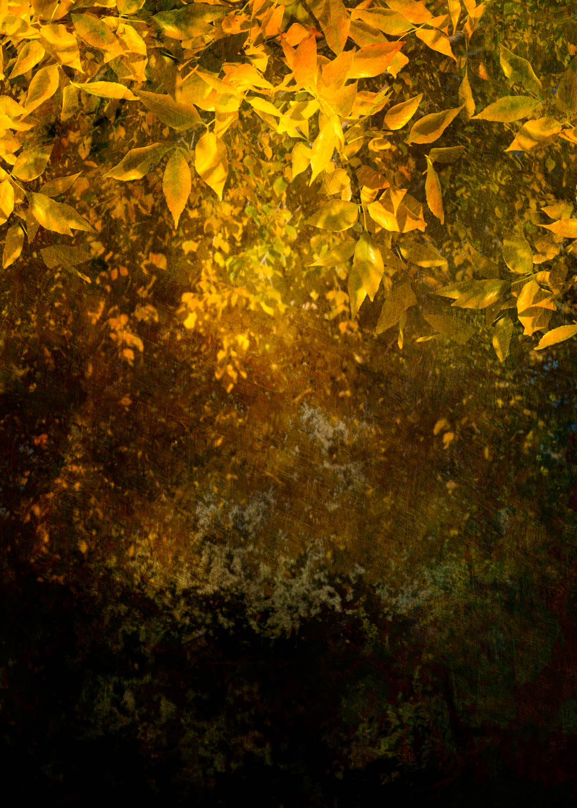 Canopy of Yellow Leaves, 2017