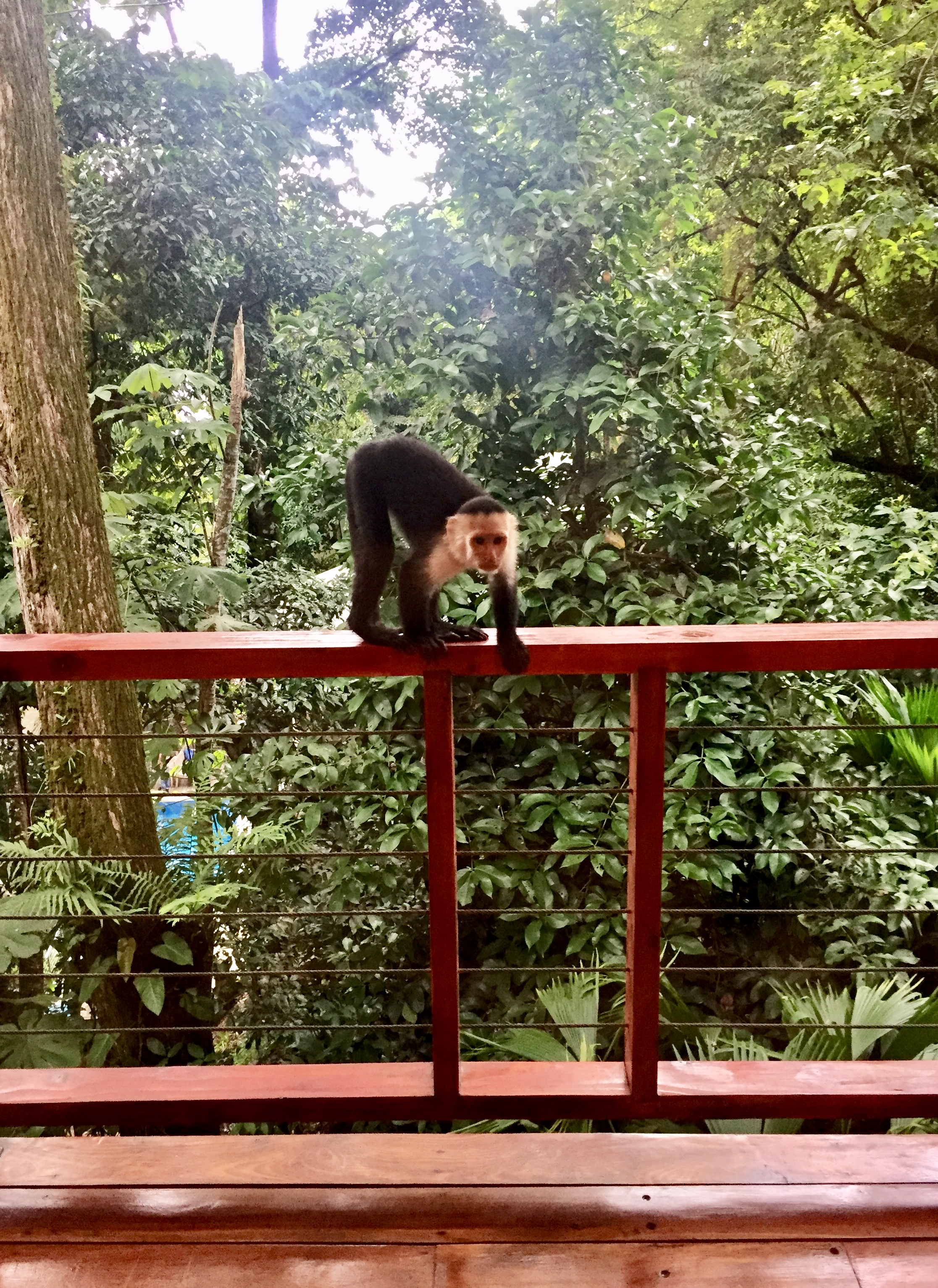 White-faced monkey on our deck when we arrived