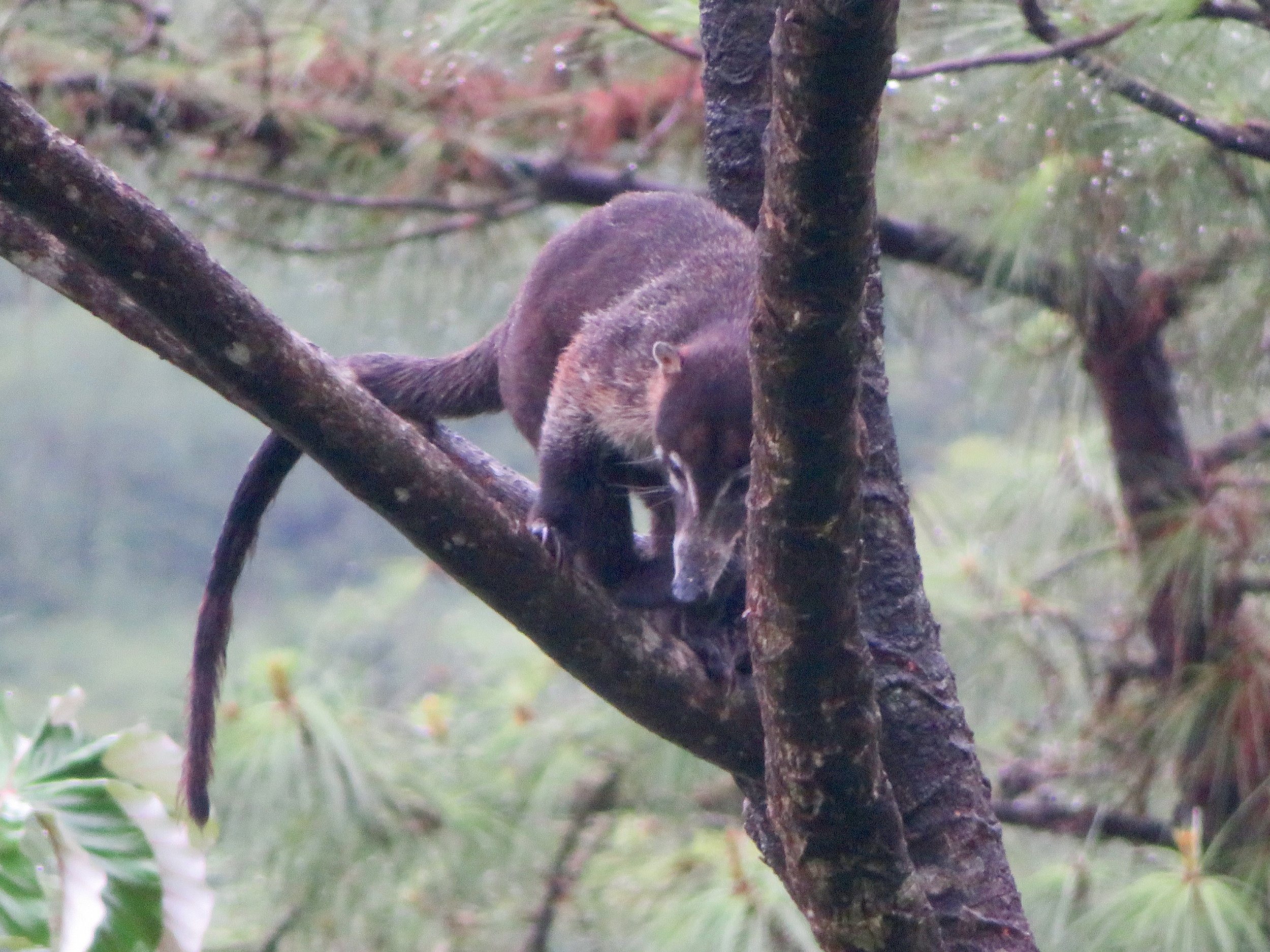Animal in the trees outside our Arenal Lodge suite
