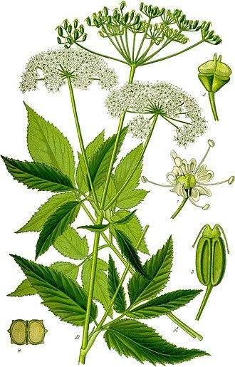 Goutweed ( Aegopodium podagraria)  Illustration from  Otto Wilhelm Thomé 's  Flora von Deutschland, Österreich und der Schweiz  (1885)