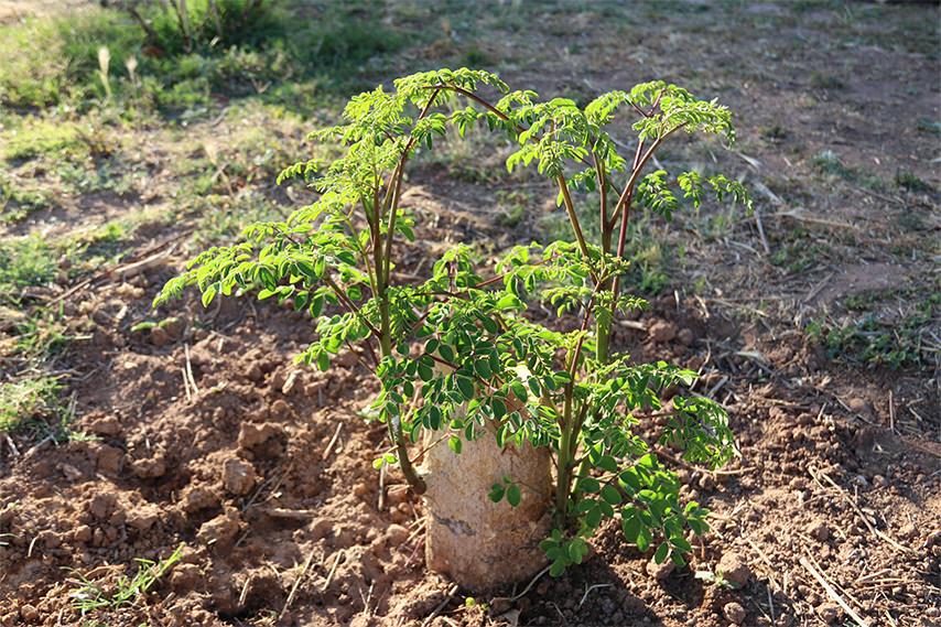 Moringa growing in clay soil.