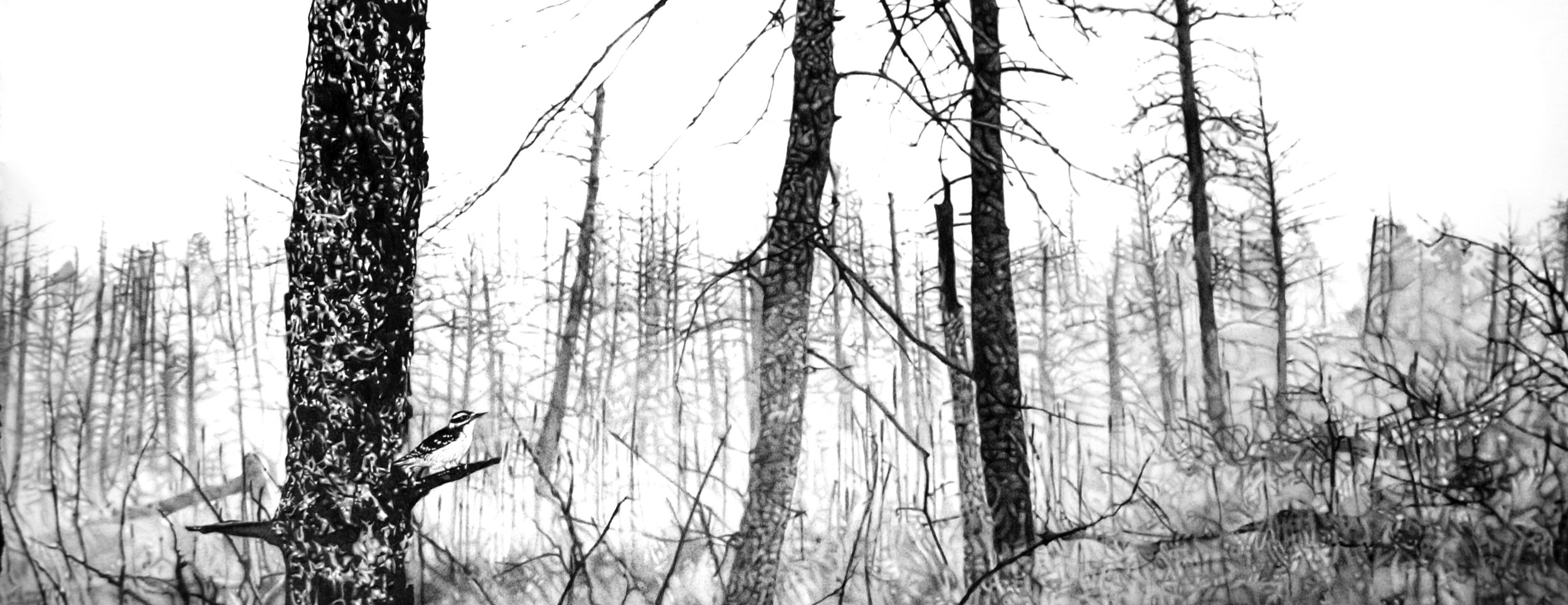 """""""Picoides villosus,"""" 6.5 x 16,"""" graphite on paper, SOLD"""