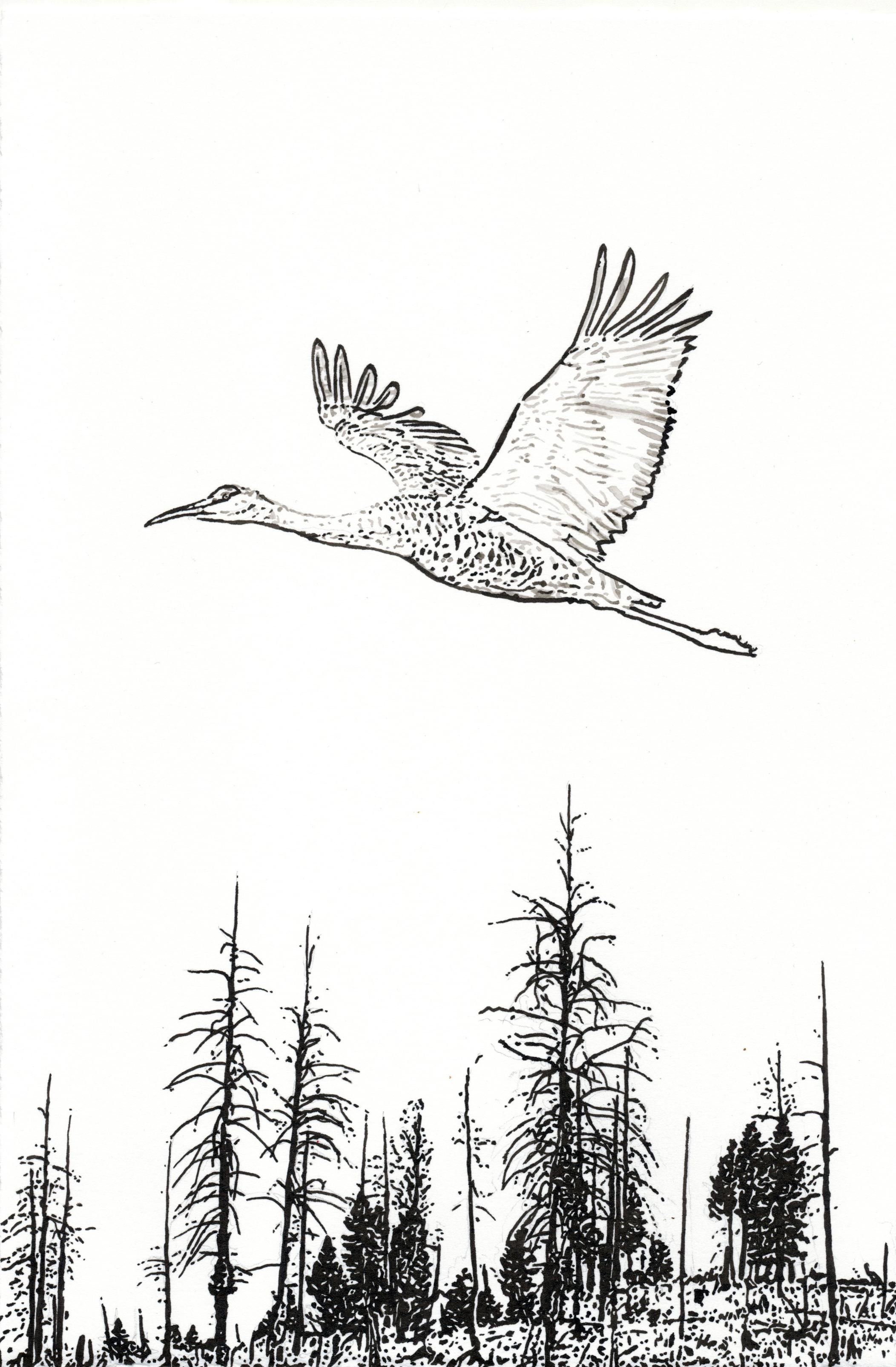 Sandhill Crane, 10.5 x 7 inches, India Ink drawing.jpeg