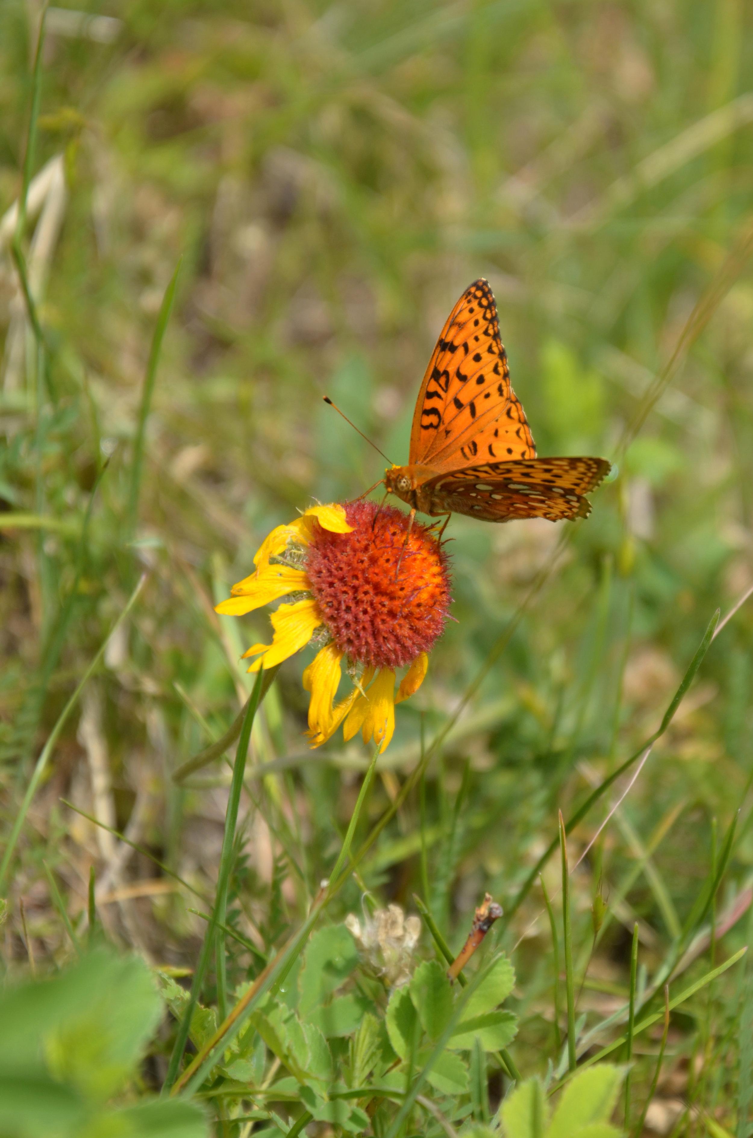 Aphrodite Fritillary butterfly on gaillardia
