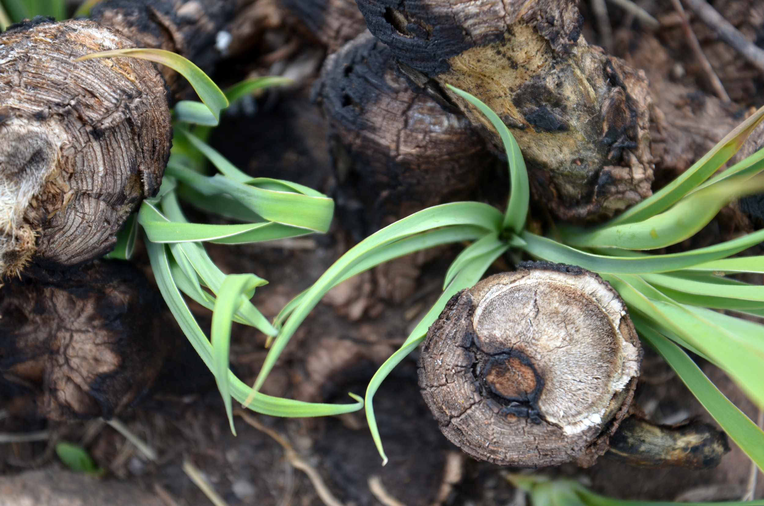 Burned Yucca plants with new green shoots