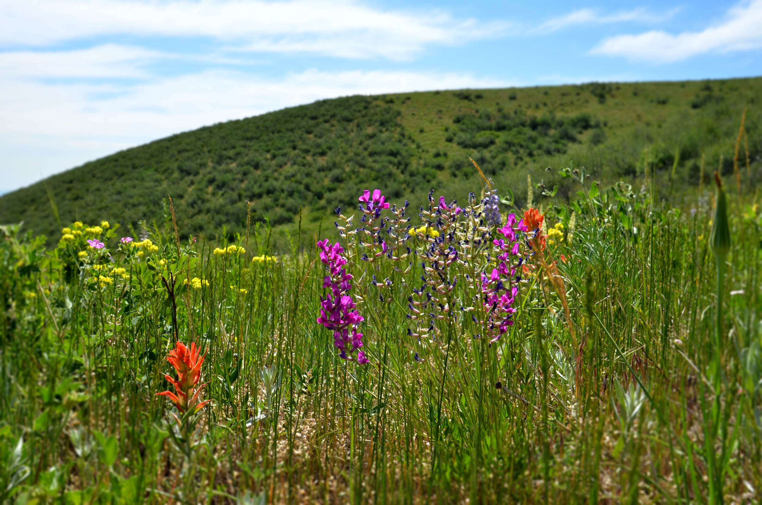 Indian Paintbrush and Locoweed