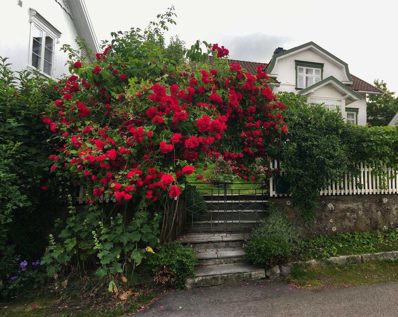 Typisk Åsgårdstrand; roser, hvite trehus, frodige hager, og stakittgjerder.
