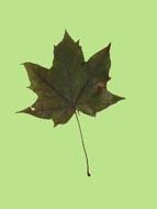 Maple1-2.jpg