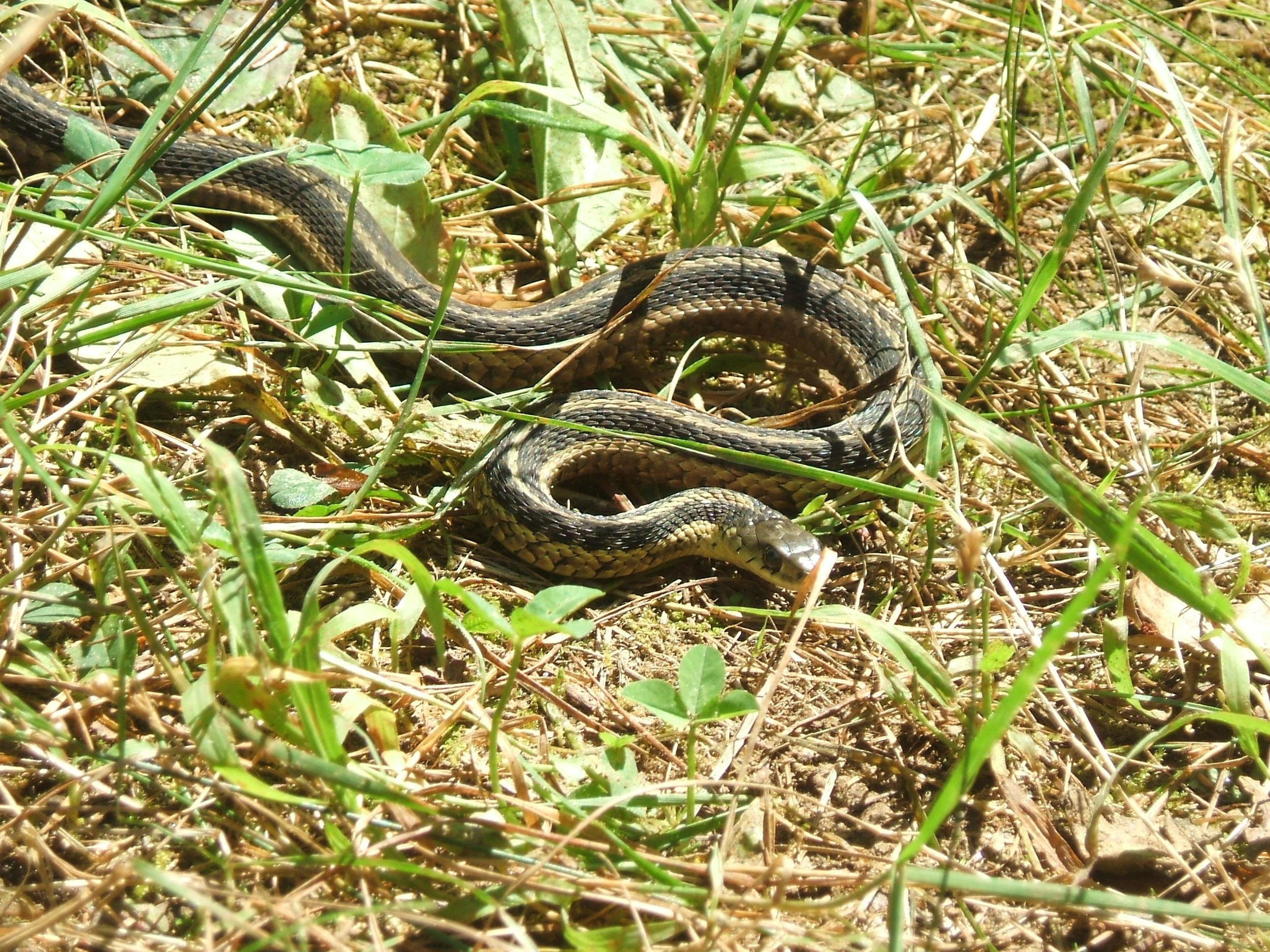 26a Garter Snake.JPG