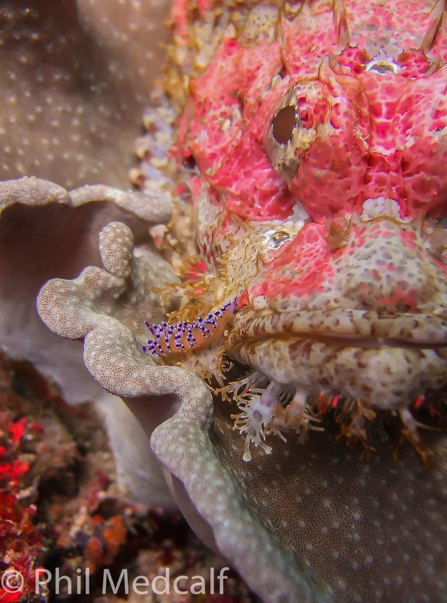 Nudi-on-scorpionfish.jpg