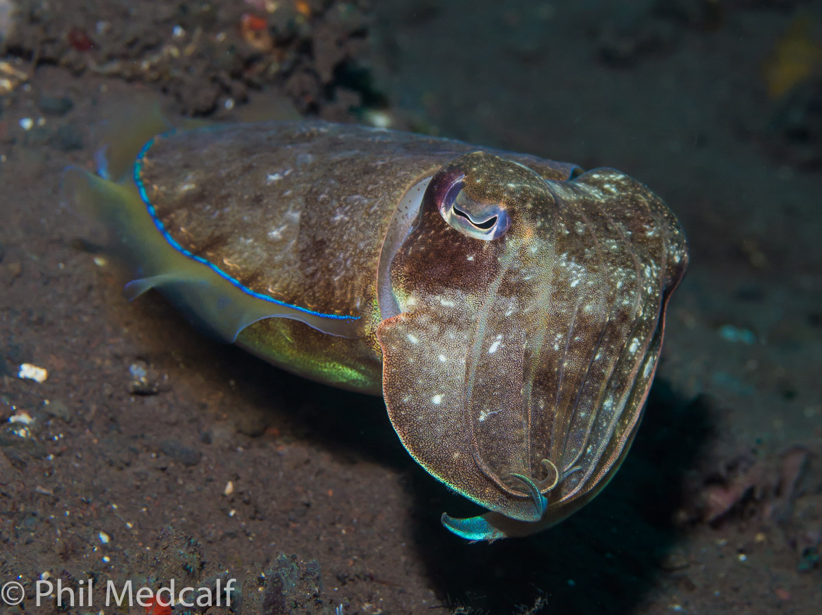 This shot of a cuttlefish taken without using a snoot shows the dark sand bottom typical of many Indonesian dive sites.