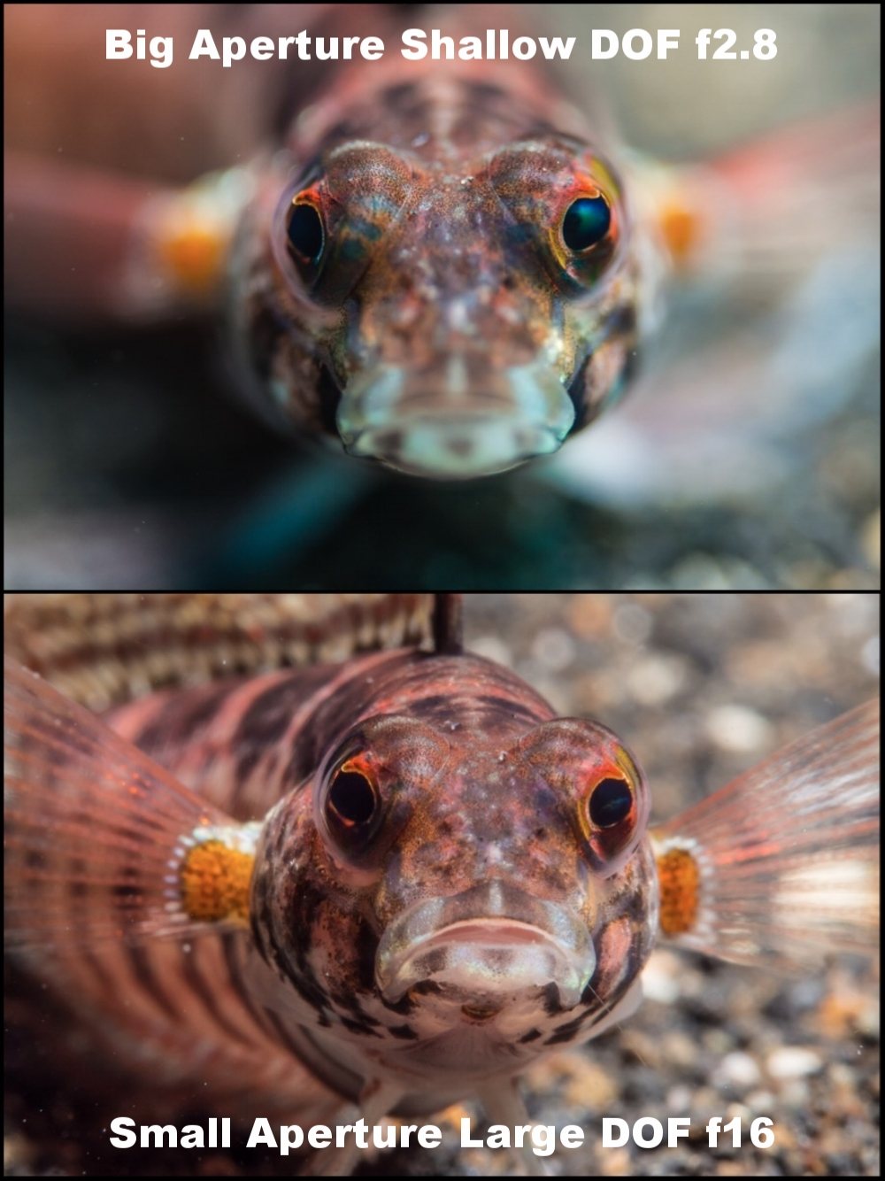 This little fish was set against the background of a muddy Indonesian bottom. So these examples are to show how you can isolate your subject or have more in focus by altering your aperture. Exactly what you set depends on how close you are, and the type of lens you're shooting with. Broadly speaking though, all else being equal, if you choose a smaller aperture (bigger number) you'll have greater Depth of Field, more in focus, than if you'd chosen a wider aperture (smaller number) less in focus. Your choice though, and yet another example where understanding the exposure triangle will empower you.