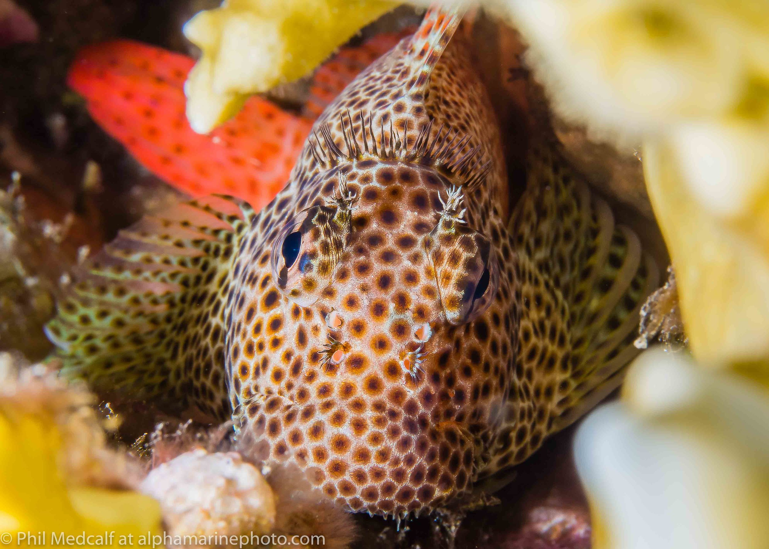 When using two strobes in a confined space you may struggle to get both in a position to light your subject easily. In this case the right side of the blenny is in shadow because the fire coral blocked my righthand strobe.