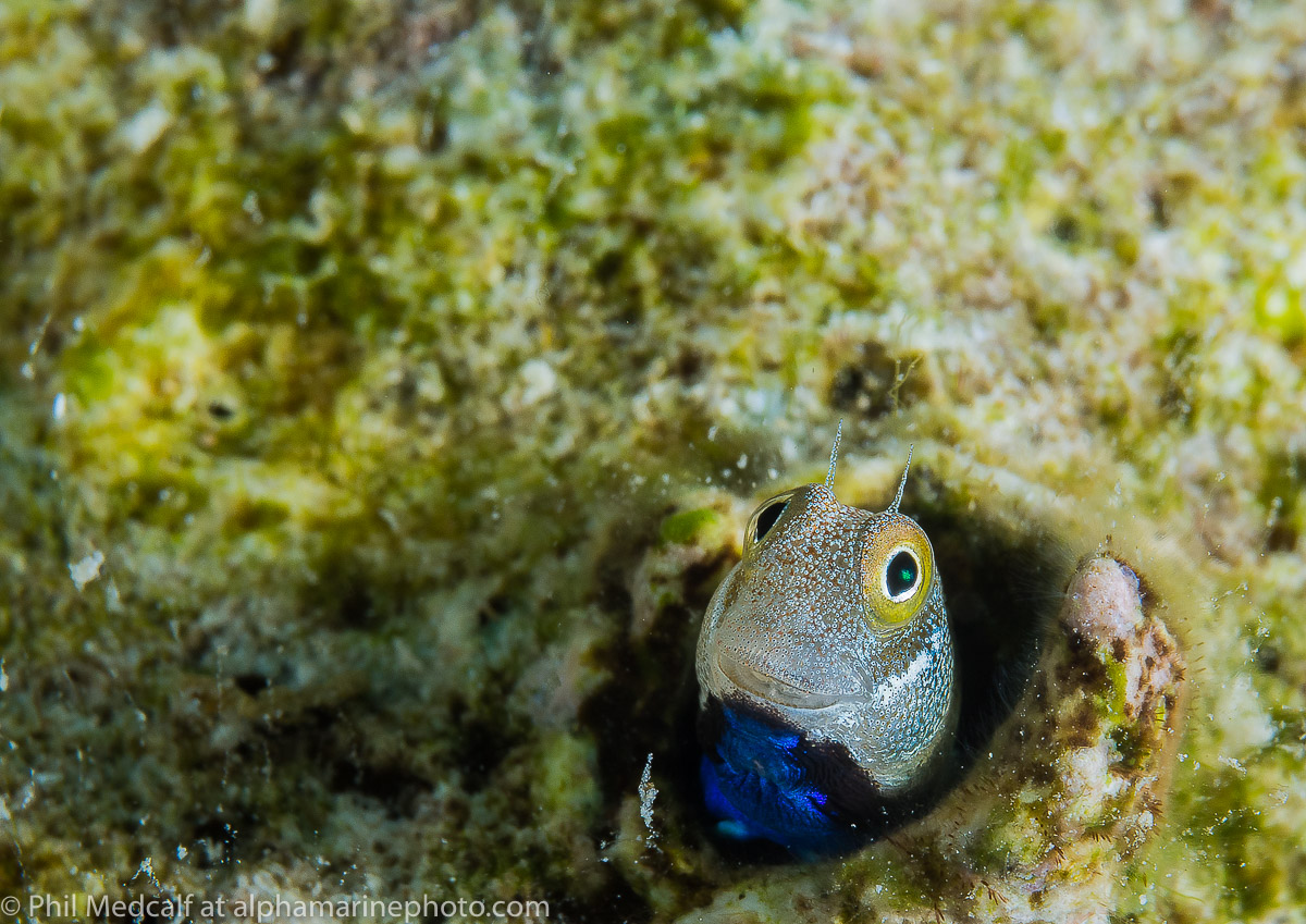 We take a lot of images specifically for articles and blogs, so it's a nice change to take pictures of things like this blenny rather than a diver with a camera setup.