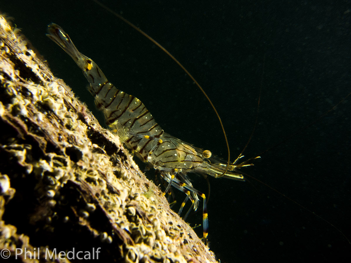 This shot of a common prawn on a pier in Wales was taken with a Canon S95 compact in a very well used Canon housing that I picked up on the used market with a tray and INON lens mount. I then added a macro lens and a single strobe to get this picture which won the compact category of a 'Splash In' competition a couple of years ago. Not bad for a camera made in 2010.