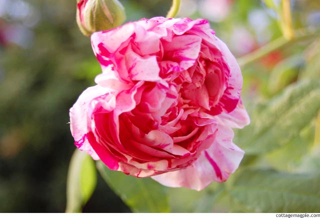 Variegata di Bologna Rose via cottagemagpie.com